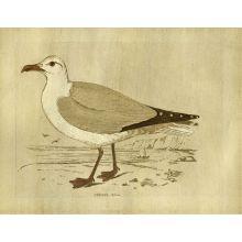 Herring Gull 23W x 18H
